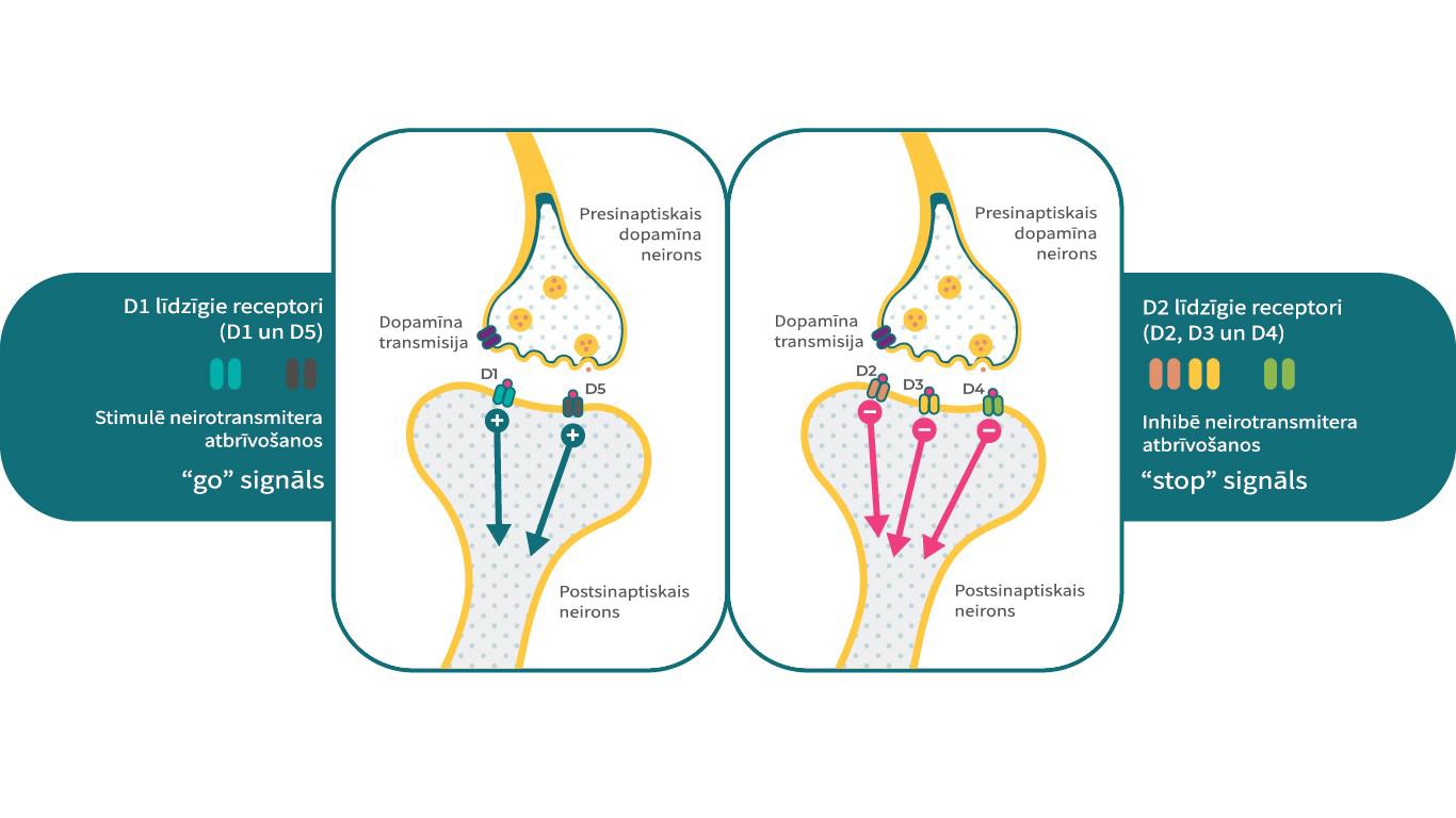 D1 un D2 līdzīgo dopamīna receptoru raksturojums smadzenēs.