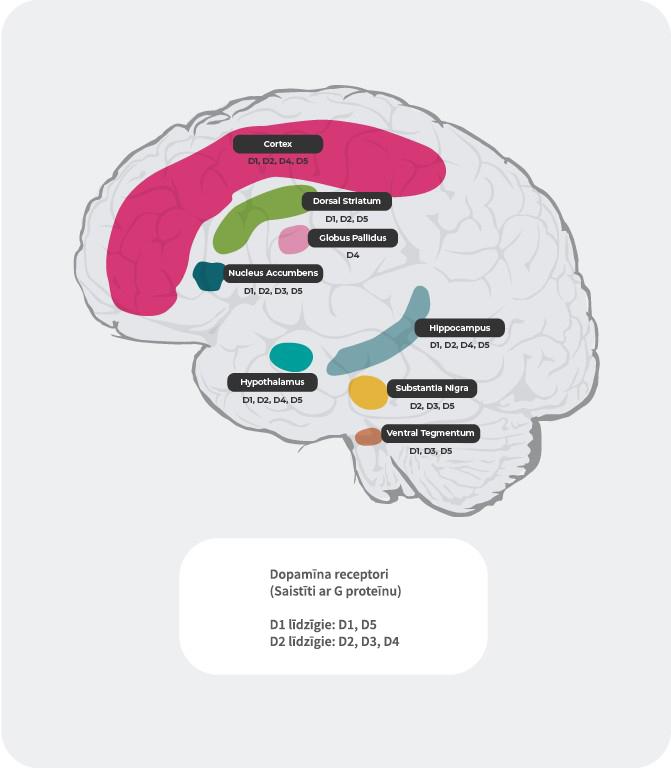 Dopamīna receptoru sadalījums