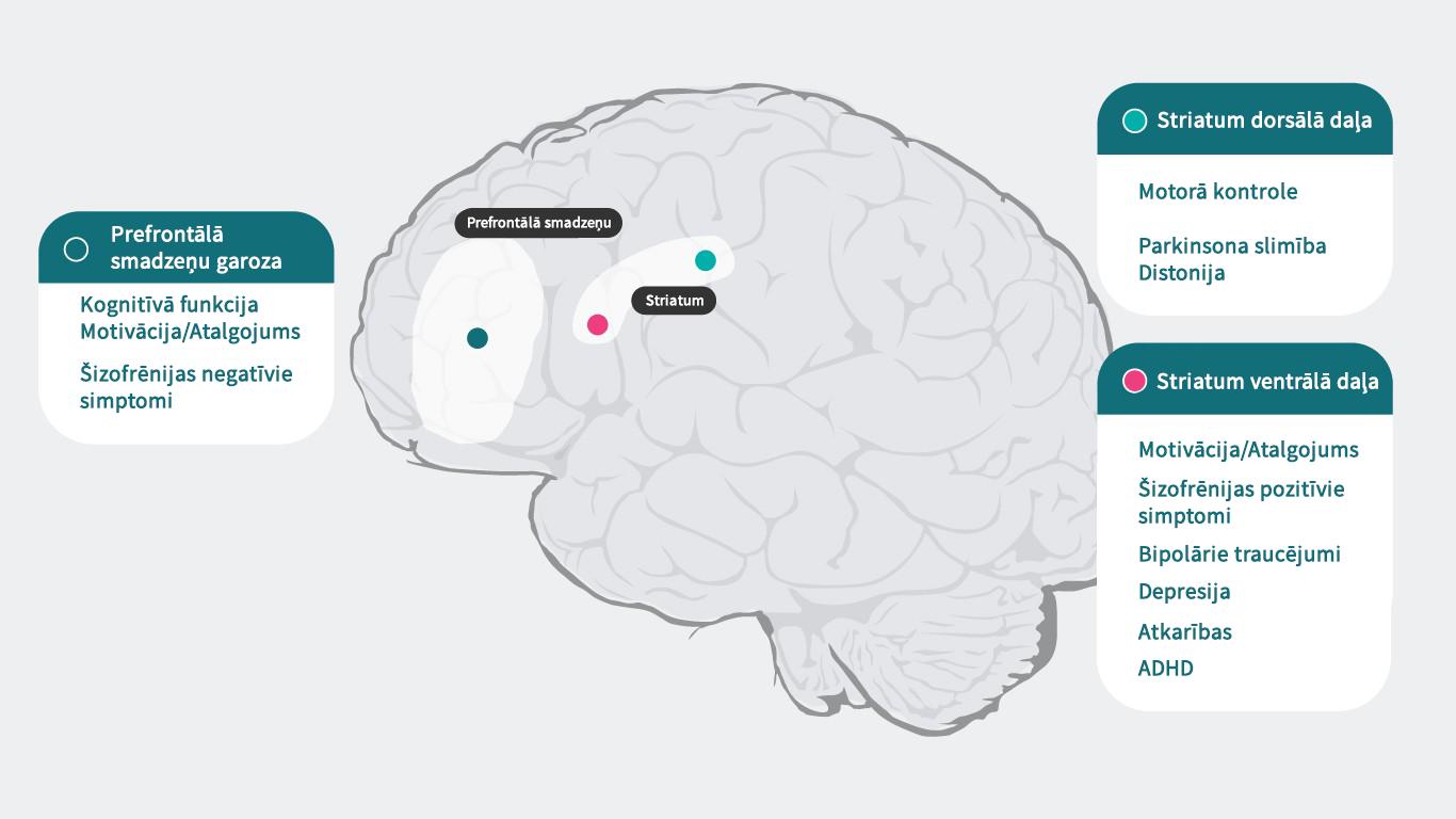 Dopamīns un smadzenes
